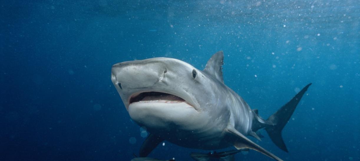 Tiburones especies protegidas