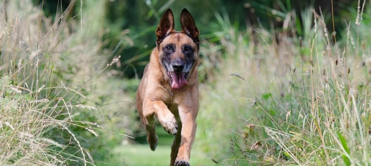 Imagen de un perro pastor belga
