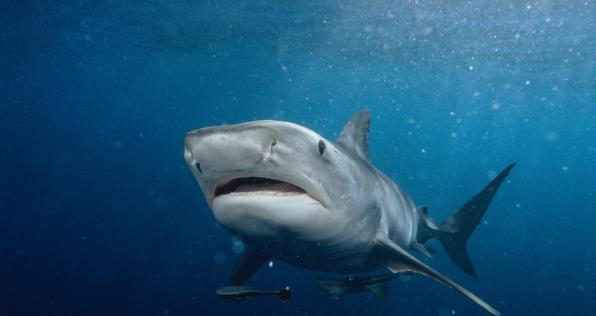 Tiburones y otras especies protegidas en Colombia