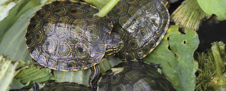 ¡Esperanza para las tortugas! 600 ejemplares liberados en el Cerrejón