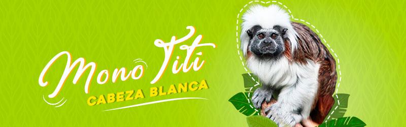 Mono tití - Animales en peligro de extinción en Colombia