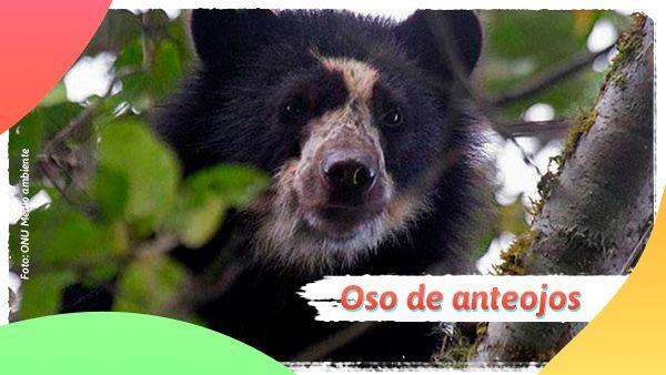 Oso de anteojos: Animales en vía de extinción en Colombia