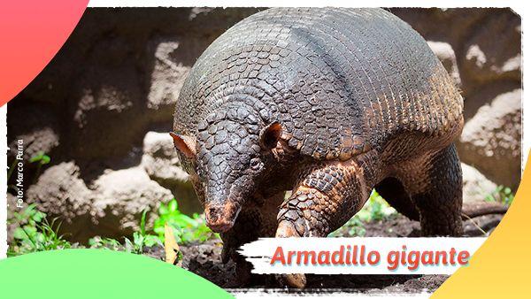 Armadillo gigante: Animales en vía de extinción en Colombia