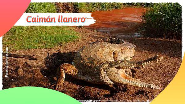 Caimán llanero: Animales en vía de extinción en Colombia