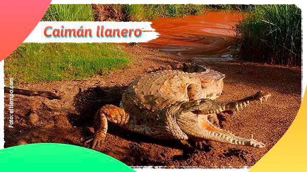 Caimán llanero