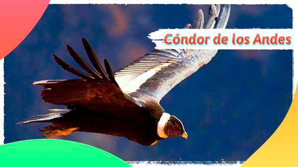Cóndor de los Andes, ave emblemática de Colombia en grave peligro de extinción