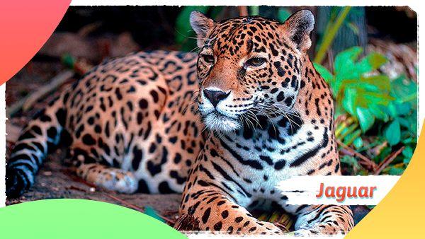 Jaguar: Animales en vía de extinción en Colombia
