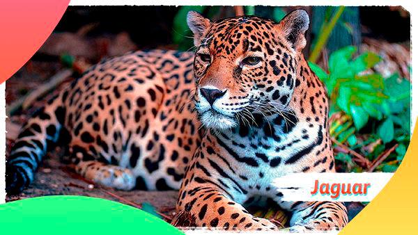 Juguar Colombiano otro animal en vía de extinción