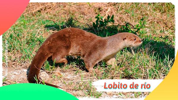 Lobito de Río es una animal en vía de extinción