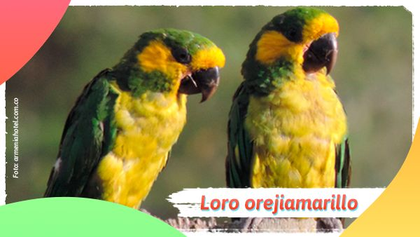 Loro orejiamarillo: Animales en vía de extinción en Colombia