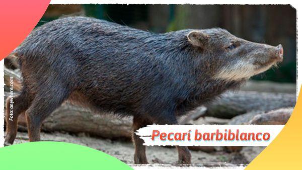 Pecarí barbiblanco: Animales en vía de extinción en Colombia