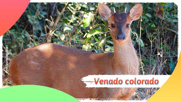 Venado colorado: Animales en vía de extinción en Colombia