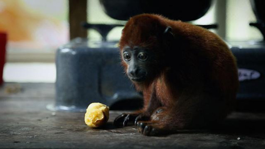 Mico comiendo fruta