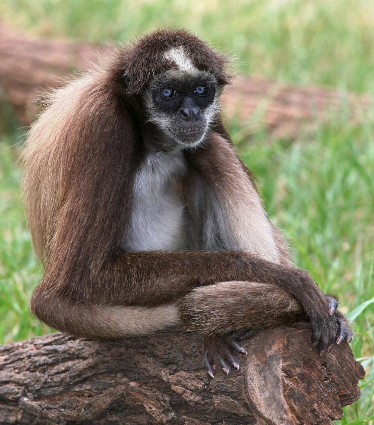 Mono araña de San Lucas