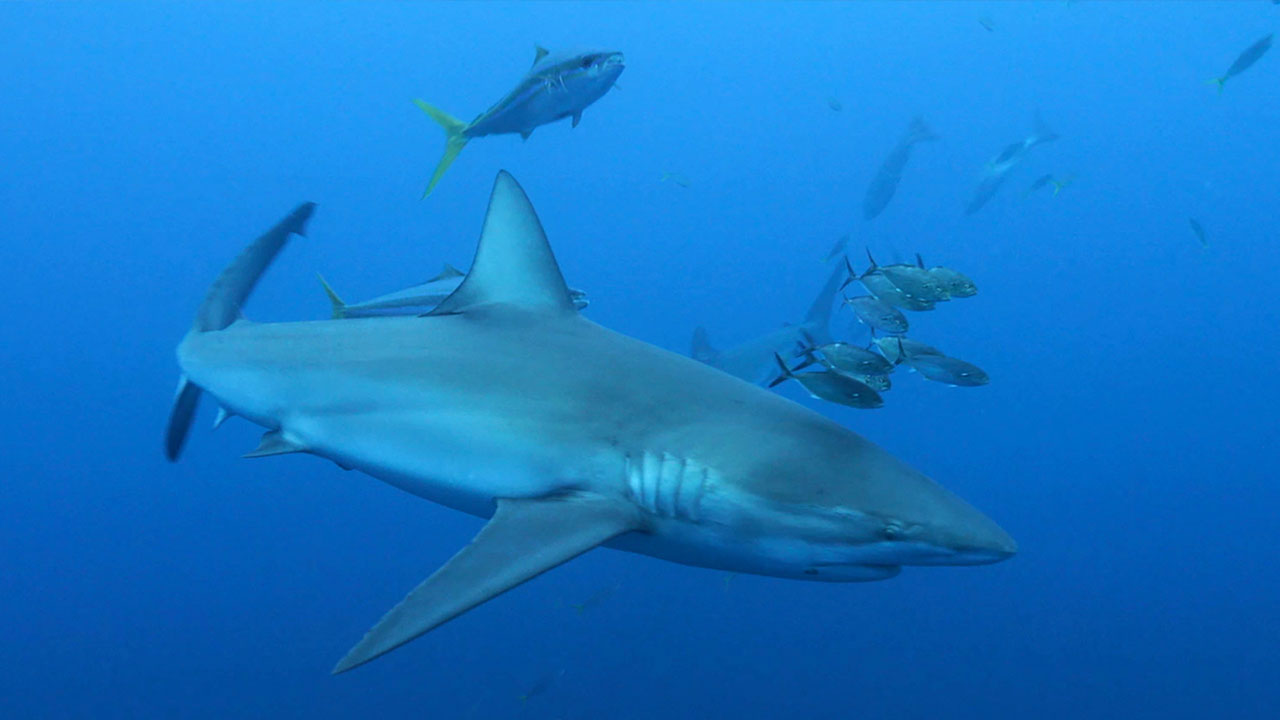 Tiburón
