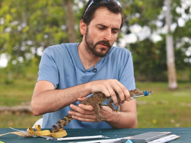 Científico sostiene un caimán en estudio