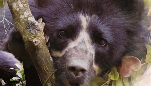 El documental que revela los misterios del oso de anteojos