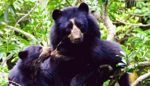 5 razones para amar y proteger al oso de anteojos