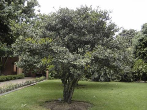Arrayán árbol De La Libertad Señal Memoria