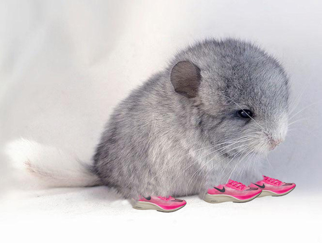 baby chinchilla in running shoes