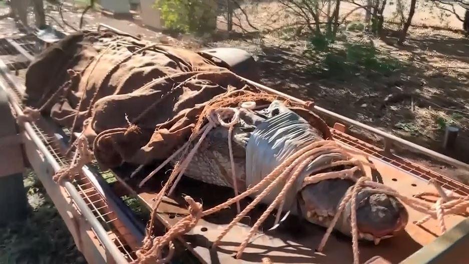 CAPTURAN A GIGANTESCO COCODRILO  EN ZONA TURÍSTICA DE AUSTRALIA
