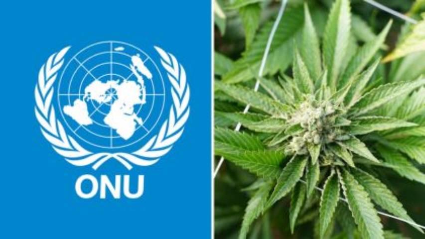 RECONOCE LA ONU  PROPIEDADES MEDICINALES DEL CANNABIS