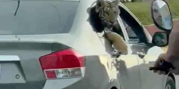 VIDEO: CAPTAN A TIGRE A BORDO DE UN AUTOMÓVIL EN MAZATLÁN