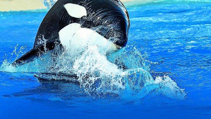 MORGAN, LA ORCA SORDA QUE LUCHA CONTRA EL RUIDO EN EL MAR