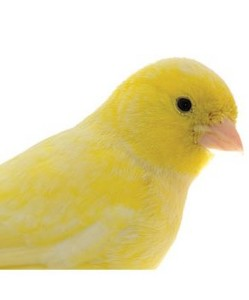 Crystal Canary