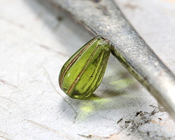 Czech Glass Bronzed Olivine Melon Teardrop 13x7mm