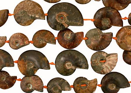 Ammonite Fossil Pieces Graduated 28-53x22-42mm