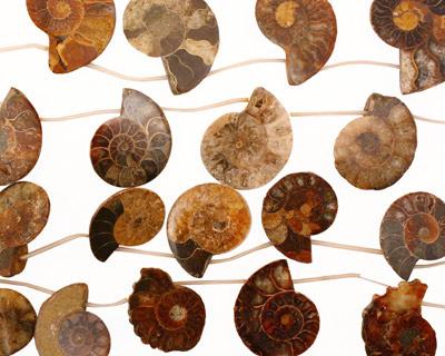 Ammonite Sliced Fossil Drops 27-38x26-40mm