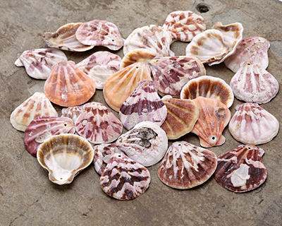 Colorful Pectin Scallop Shell Pendant 28-40x31-43mm