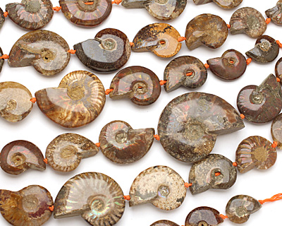 Ammonite Fossil Pieces Graduated 28-53x22-42mm