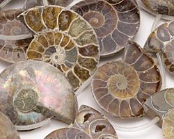 Ammonite Fossil Pendant 28-35x35-42mm