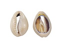 Ring Top Cowrie Shell Slice 14-16x18-21mm