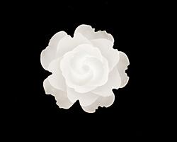 Transparent Matte White Lucite Rose Cabochon 23mm