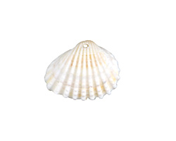 White Arca Shell Focal 16-27x13-21mm