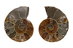 Ammonite Matched Pair Pendants (undrilled) 16x21-22x26mm