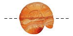 Carnelian (natural-matte) Ammonite 21-25mm