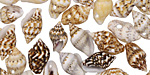 Tiny Nassa Shell Charm 6-10x10-20mm