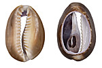 Snake Head Cowrie Shell Slice Pendant 16-24x24-34mm