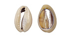 Ring Top Cowrie Shell Slice 10-14x15-20mm