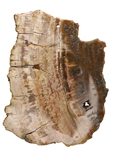 Petrified Wood Freeform Slice Drop w/ Natural Edge 50-75x64-105mm