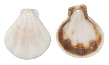 White Pectin Scallop Shell Pendant 28-40x31-43mm