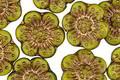 Czech Glass Avocado w/ Gold Wild Rose Coin 13mm