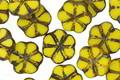 Czech Glass Citrus Picasso 6 Petal Daisy 9mm