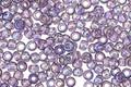 TOHO Transparent Rainbow Sugar Plum Round 8/0 Seed Bead