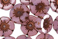 Czech Glass Bronzed Pink Opal Hibiscus Coin 12mm