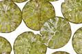 Czech Glass Olivine w/ Mercury Glass Finish Dahlia Coin 14mm
